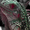 Red eye lizard puzzle